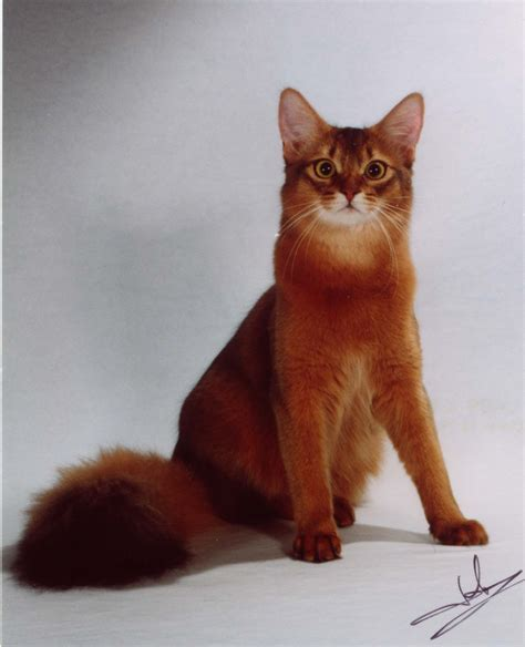 cat and pictures 25 awesome somali cat pictures and photos