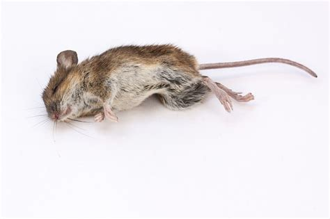 dead rat smell that dead mouse really smells colonial pest