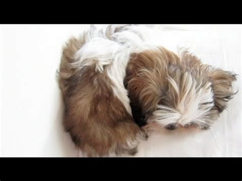 how to teach a shih tzu tricks meet my new puppy junior 9 weeks shih tzu doovi