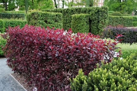 cistena plum flowering shrub cistena plum garden shrubs prunus garden