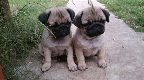 kc reg pug puppies for sale fully vaccinated kc reg pug puppies for sale mexborough south pets4homes