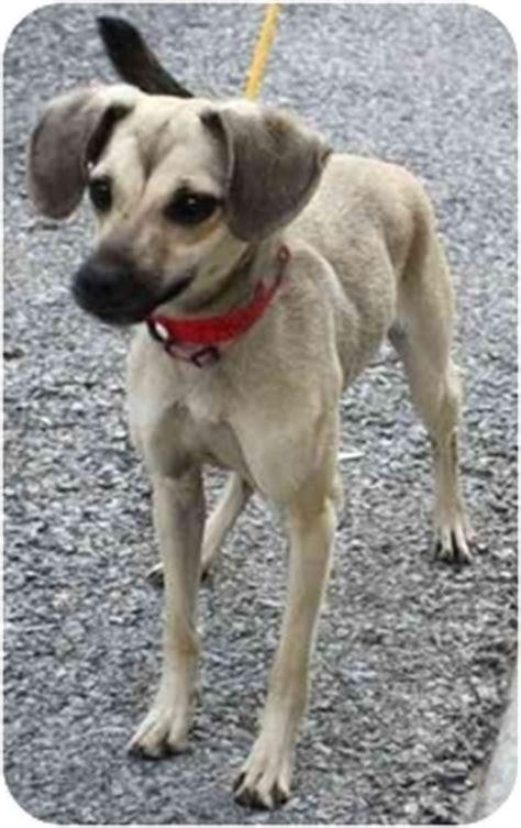 pug rescue ta adopted brn chi pug toronto etobicoke gta on whippet terrier