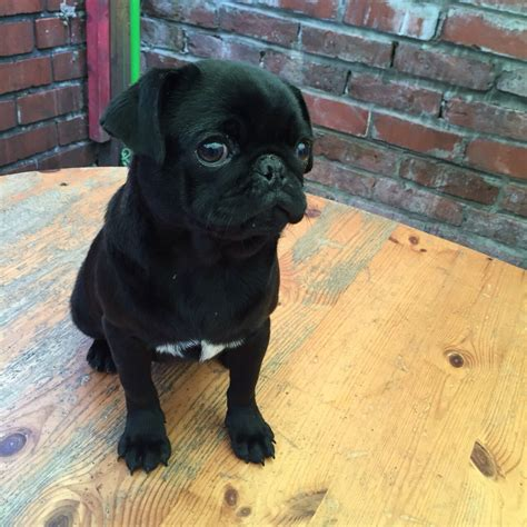pug puppies for sale in bristol pug for sale bristol bristol pets4homes