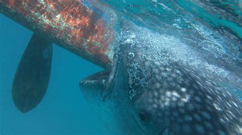 snorkeling   whale sharks  oslob cebu planet