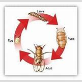 Fruit Fly Life Cycle Stages | 271 x 256 jpeg 9kB