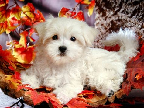 free desktop wallpapers backgrounds dog wallpapers for puppy wallpaper for desktop free download puppy wallpaper