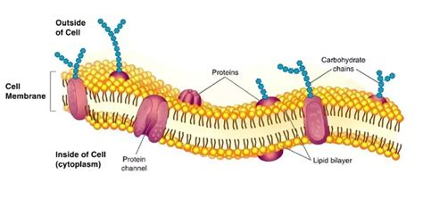 carbohydrates of the plasma membrane what function do lipids serve in cells quora