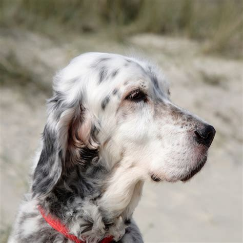english setter breed guide learn   english setter