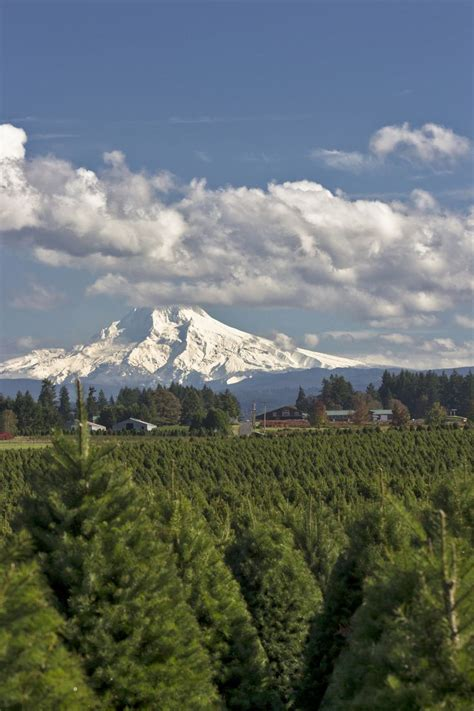 christmas tree farms near mt hood oregon s mt territory grows more trees than anywhere else in oregon which grows