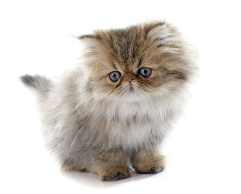 house cat scientific name scientific name felidaecommon name persian house cat th thinglink