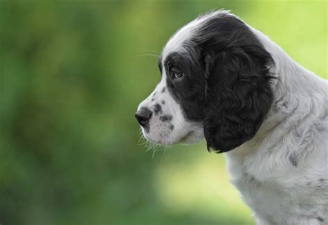 setter dog breed info english setter dogs breed information omlet
