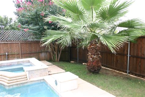 mexican fan palm care plant gallery tropical plants landscaping in haslet tx