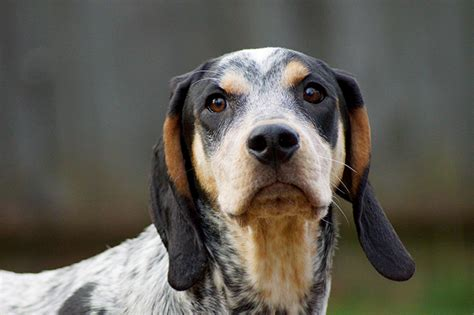 free blue tick hound puppies blue tick hound puppy www pixshark images galleries with a bite