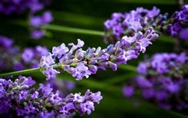 Lavendel Blue 2192 tags lavendel hintergrundbilder seite 1 de best
