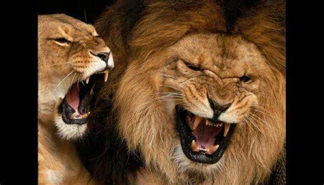 Imagenes De Leones Fuertes | 161 s 250 per ruidosos diez animales que emiten los sonidos m 225 s