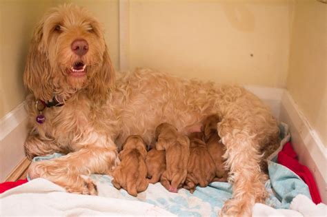wirehaired vizsla puppies wirehaired vizsla puppies for sale west byfleet surrey pets4homes