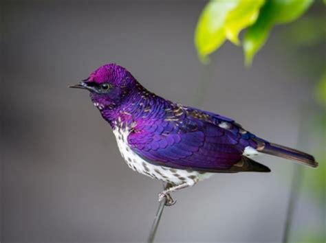pretty purple bird birds animals background wallpapers