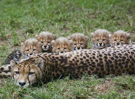 cheetah and cheetah and six cubs baby needs