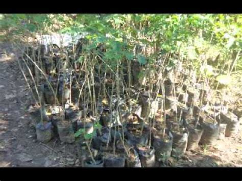 Jual Bibit Bunga tree root morphology of albizia saman