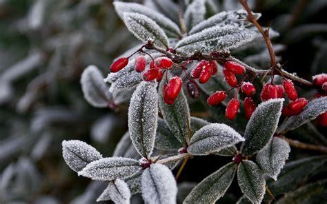 Frozen Leaves Wallpaper   frozen leaves fruits wallpaper 1920x1200 100583