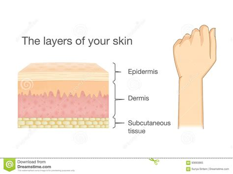 anatomy of human skin layer and arm stock vector 689023216 istock anatomy of human skin layer and arm stock vector illustration of disease cell 93693865