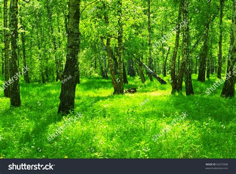 forest green summer green forest birch trees stock photo 62675998