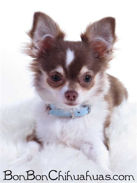 image gallery haired chihuahua puppies