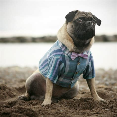 pug ring bearer fashionable doggie attire the sweetest occasion