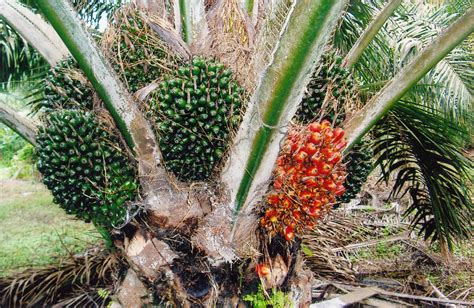 supergene biji kelapa sawit unggulan