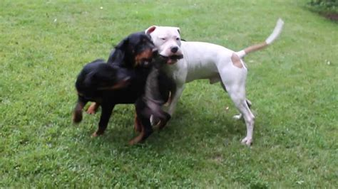 pitbull vs rottweiler rottweiler vs pitbull fight