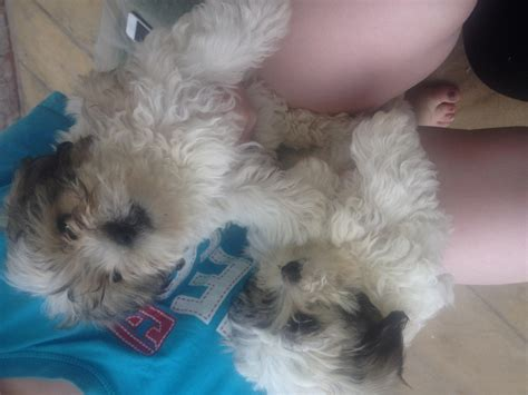 zuchon puppies for sale shichon puppies for sale ready now zuchon for sale