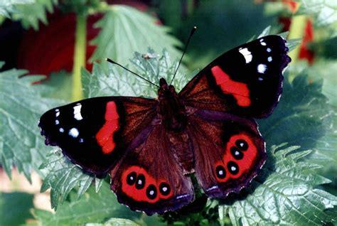 new butterfly admiral bassaris gonerilla kahukura monarch