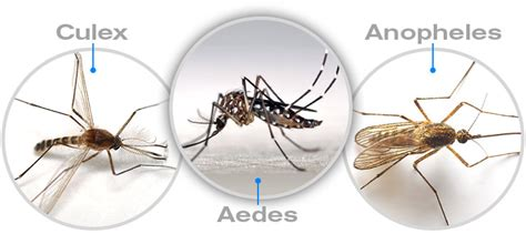 types of mosquitoes and how they affect us