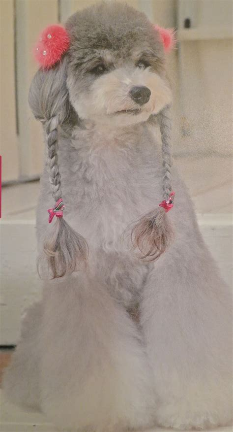 poodle grooming styles 470 best poodles images on pinterest poodles creative