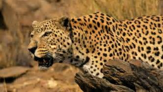 Why Do Jaguars Spots Amazing Facts About Leopards Onekind