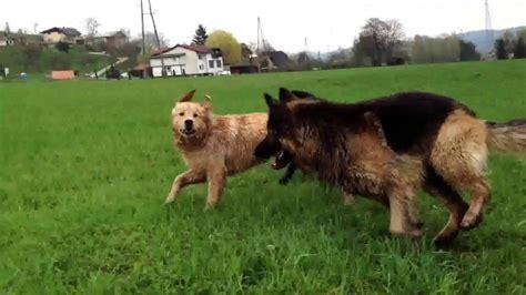 german shepherd vs golden retriever german shepherd vs golden retriever dogs in our photo