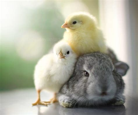 Cute Rabbits And Chicks | baby bunnies kitties and fuzzy chicks animal
