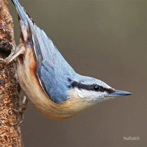 nuthatch singing greeting card