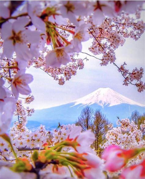 cherry blossoms cherry blossom tree tumblr