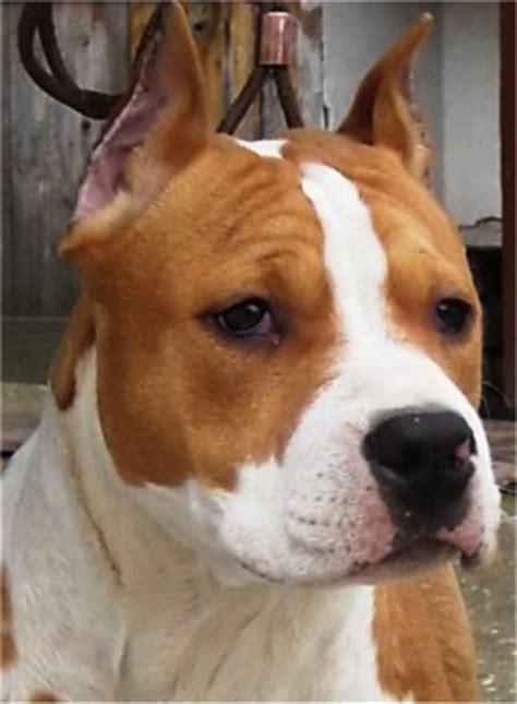 alimentazione amstaff razza american staffordshire terrier amstaff