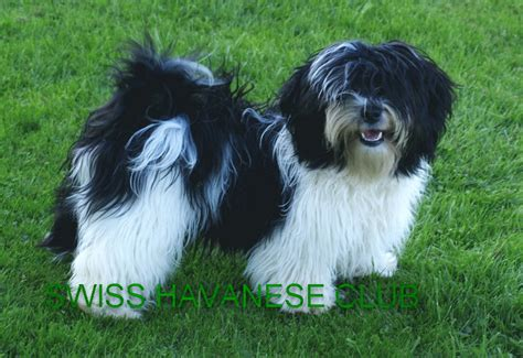 havanese club havanese picture and images