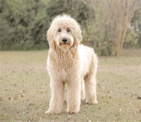 english goldendoodle adult males english goldendoodles teddybear goldendoodles