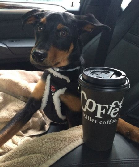 is coffee bad for dogs thanksgiving dogs modern magazine