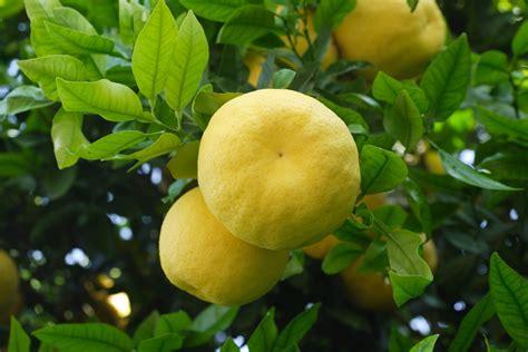grape fruit tree indoor citrus trees indoor grapefruit tree indoor
