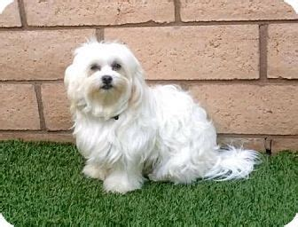 havanese and maltese mix 1000 images about dogs need to be adopted havanese cotons maltese poodles