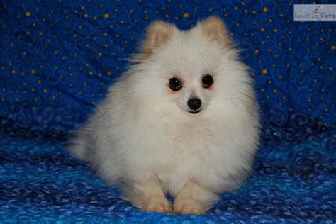snowball pomeranian true teacup snowball pom baby boy