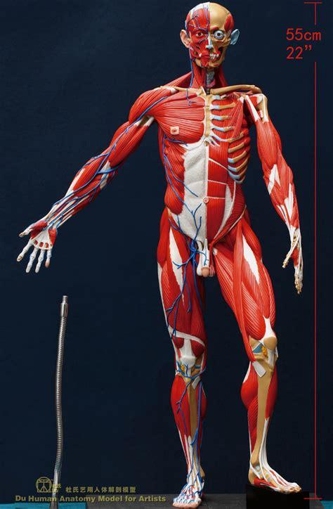 and human human muscles and veins anatomy human anatomy chart