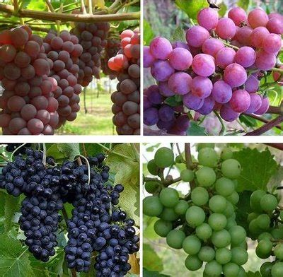 Gula Anggur Glucolin Glukosa manfaat buah anggur untuk mencegah berbagai penyakit tips pola hidup sehat yang benar