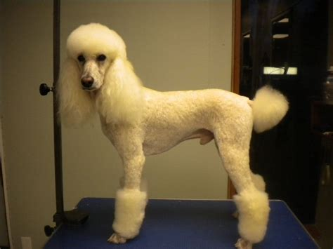 pictures of poodle haircuts 19 best sophie haircut ideas images on pinterest poodles