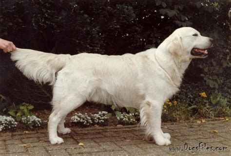 standfast golden retriever pedigree database styal of glengilde 187 pedigree database golden retriever